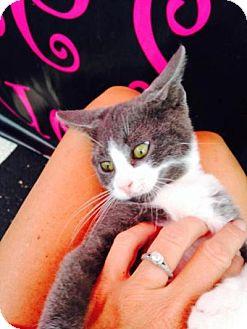 Domestic Shorthair Kitten for adoption in Grand Rapids, Michigan - Davey