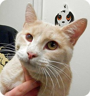 Domestic Shorthair Cat for adoption in Ocean View, New Jersey - Pugsley