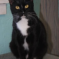 Domestic Shorthair Cat for adoption in Iroquois, Illinois - Jem