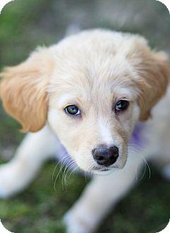 Golden Retriever Puppy for adoption in Denver, Colorado - Whitney