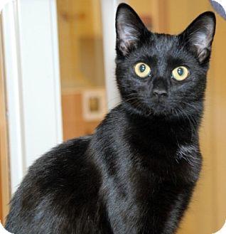 Domestic Shorthair Cat for adoption in Newland, North Carolina - Sphinx