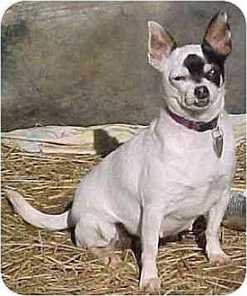 Chihuahua Dog for adoption in Oswego, New York - Lilith