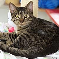 Domestic Shorthair Cat for adoption in St Louis, Missouri - Midas