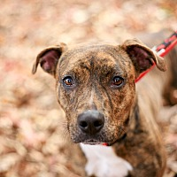 Plott Hound/Pit Bull Terrier Mix Dog for adoption in Marietta, Georgia - Trixie