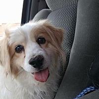 Australian Shepherd Mix Dog for adoption in Henderson, Nevada - Cubby