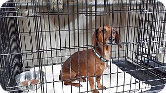 Dachshund Dog for adoption in Lubbock, Texas - DIGGER