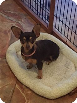 Chihuahua Dog for adoption in Naples, Florida - Ginger