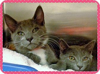 Domestic Shorthair Kitten for adoption in Marietta, Georgia - LOUIS & LOLA - available 3/29