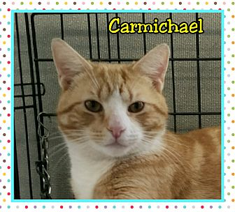 Domestic Shorthair Cat for adoption in Atco, New Jersey - Carmichael