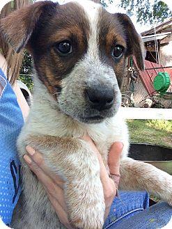 Shepherd (Unknown Type)/Australian Shepherd Mix Puppy for adoption in Barnegat, New Jersey - Sammie
