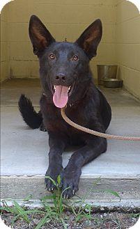 German Shepherd Dog Mix Dog for adoption in Manning, South Carolina - Vidro