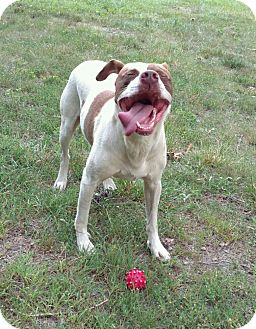 Pit Bull Terrier/Pointer Mix Dog for adoption in Westport, Connecticut - Bagel-TRAINED POLICE DOG