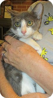 Domestic Shorthair Kitten for adoption in Mims, Florida - Casanova