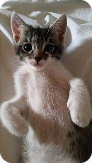 Domestic Shorthair Kitten for adoption in Rosamond, California - Georgie