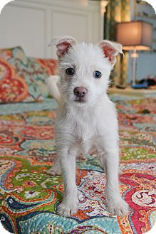 Westie, West Highland White Terrier/Chihuahua Mix Puppy for adoption in Staunton, Virginia - Arlo