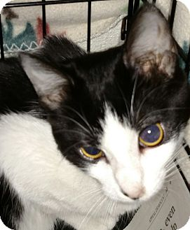 Domestic Shorthair Kitten for adoption in Yuba City, California - Maribel