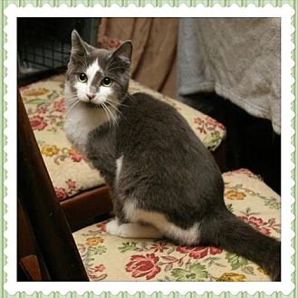 Domestic Shorthair Cat for adoption in Island Heights, New Jersey - Sahsa