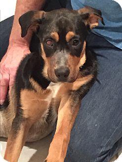 Shepherd (Unknown Type) Mix Puppy for adoption in Flower Mound, Texas - Cassie