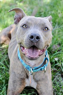 American Staffordshire Terrier/Pit Bull Terrier Mix Dog for adoption in College Station, Texas - Nolan