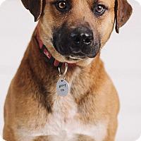 Adopt A Pet :: Brock - Portland, OR