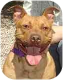 American Pit Bull Terrier Mix Dog for adoption in Hoffman Estates, Illinois - Daisy
