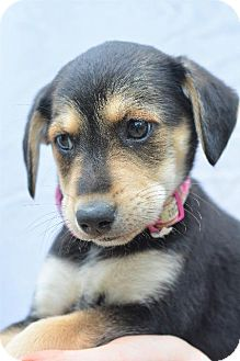 Terrier (Unknown Type, Small) Puppy for adoption in Danbury, Connecticut - Kelsie