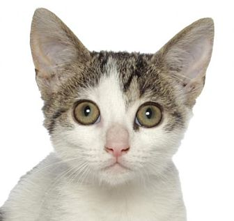 Domestic Shorthair Kitten for adoption in oakland park, Florida - Princess