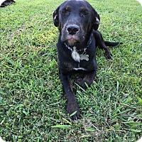 Rottweiler/Labrador Retriever Mix Dog for adoption in Waynesboro, Tennessee - Serena