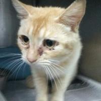 Domestic Shorthair/Domestic Shorthair Mix Cat for adoption in Clarkesville, Georgia - Tayanita