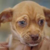 Adopt A Pet :: Butterscotch - Santa Fe, TX