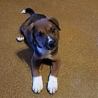Adopt A Pet :: Boomer - Apache Junction, AZ