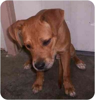 Black Mouth Cur/Redbone Coonhound Mix Puppy for adoption in Aledo, Illinois - wags
