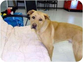 Labrador Retriever/Chow Chow Mix Dog for adoption in Batavia, Ohio - Atlas