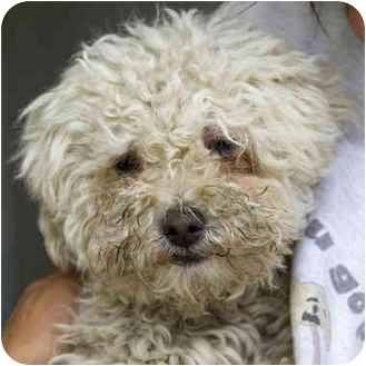 Miniature Poodle Mix Dog for adoption in Berkeley, California - Marcel