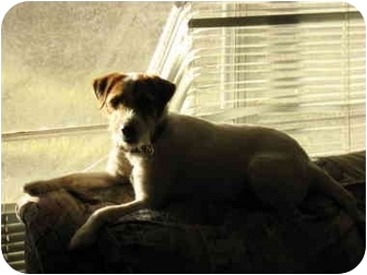 Jack Russell Terrier Dog for adoption in Houston, Texas - Tango in Conroe