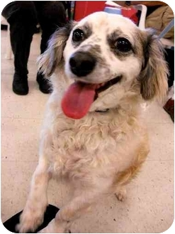 Spaniel (Unknown Type) Mix Dog for adoption in Vista, California - Shannon