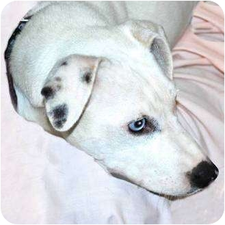 Dalmatian Mix Dog for adoption in Terre Haute, Indiana - Cassy