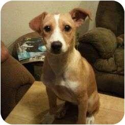 Sheltie, Shetland Sheepdog/Fox Terrier (Smooth) Mix Puppy for adoption in Astoria, New York - Jane
