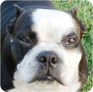 Boston Terrier Dog for adoption in North Augusta, South Carolina - YURI