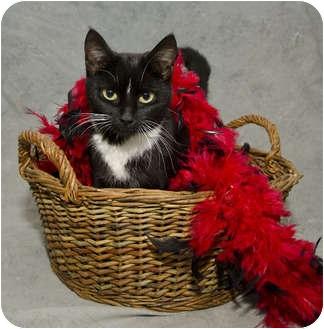 Domestic Shorthair Cat for adoption in Crumpler, North Carolina - Jester-IN FOSTER PROGRAM