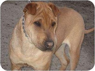 Shar Pei Mix Dog for adoption in Bakersfield, California - Charlie Brown bonded pair