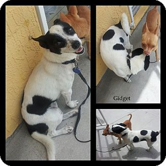 Rat Terrier Mix Dog for adoption in hollywood, Florida - gidget