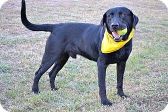 Labrador Retriever Mix Dog for adoption in Corpus Christi, Texas - Knight