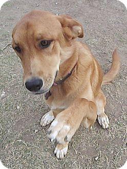 Great Pyrenees Mix Dog for adoption in Tulsa, Oklahoma - Sugar  *Adopted