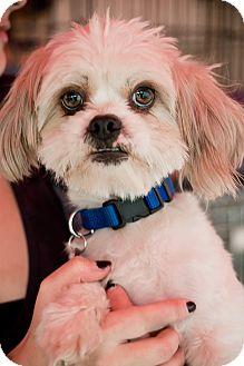 Shih Tzu/Lhasa Apso Mix Dog for adoption in North Hollywood, California - Ringo
