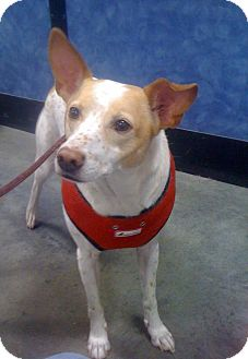 Australian Cattle Dog/Jack Russell Terrier Mix Dog for adoption in Indianapolis, Indiana - Rusty