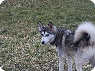 Siberian Husky Dog for adoption in Zanesville, Ohio - Caspen
