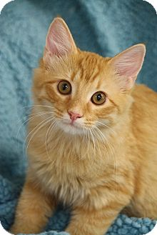 Domestic Shorthair Kitten for adoption in Chattanooga, Tennessee - Auby