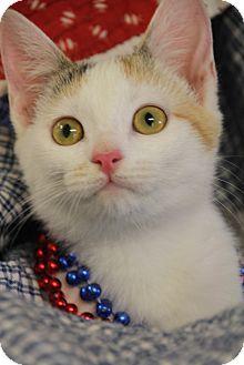 Domestic Shorthair Kitten for adoption in Chattanooga, Tennessee - Kehaar