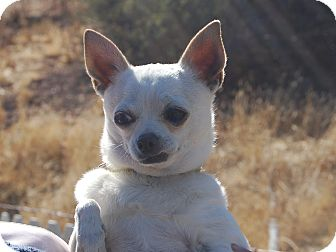 Chihuahua Dog for adoption in Creston, California - Whitey